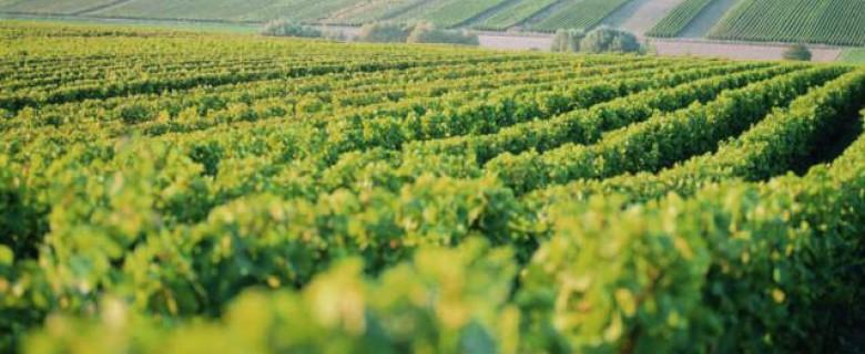 Anbaugebiet Pfalz