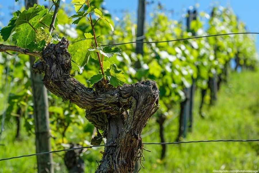 """Weinwissen: Was sind eigentlich """"alte Reben""""?"""