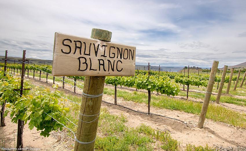 Lebhaft und elegant: Sauvignon Blanc