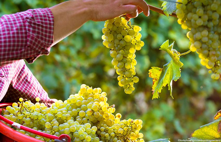 Weinwissen & Gewinnspiel: Frühe Weinlese im Sommer 2020
